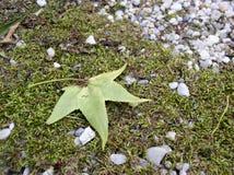 Tulip Tree Leaf Background. Tulip tree leaf on rocky ground stock image