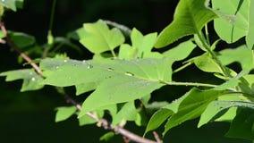 Tulip tree leaf dew drops stock footage