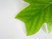 Tulip tree leaf (2) Royalty Free Stock Image