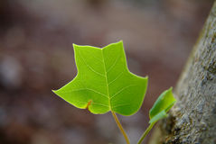 Tulip Tree Leaf Stock Photography