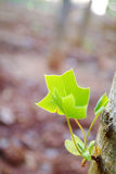 Tulip Tree Leaf Royalty Free Stock Photo