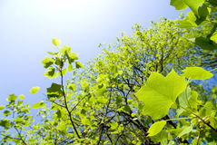 Tulip tree leaves Royalty Free Stock Photography