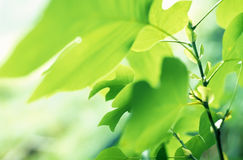 Tulip Tree leaves stock photo