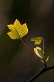 Tulip Tree {Liriodendron-tulipifera} in de Lente Royalty-vrije Stock Foto