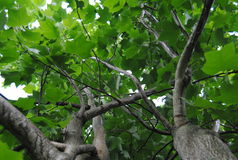 Tulip Tree Royalty Free Stock Images
