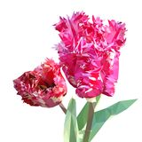 Tulip triangulated. bouquet of flowers, white, pink, curly tulip stock illustration