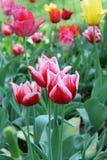 Tulip trio. Beauty in the concrete jungle Royalty Free Stock Image