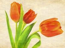 Tulip trio Stock Image