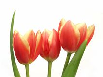 Tulip trio - tulipa gesneriana Royalty Free Stock Photos