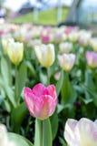 Tulip Tulipa avec de grandes, voyantes, et brillamment roses et jaunes fleurs dans un jardin Photographie stock
