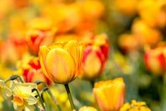 Tulip (Tulipa) Royalty Free Stock Image