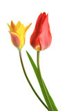 Tulip (Tulipa) Stock Photos