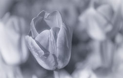 Tulip. S in Black and white Royalty Free Stock Images
