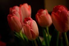 Tulip. S in the dark room Stock Images