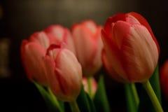 Tulip. S in the dark room Royalty Free Stock Photo