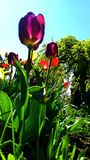 Tulips in the summer stock photos