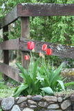 Tulip. S in a rock wall by an old fence royalty free stock image