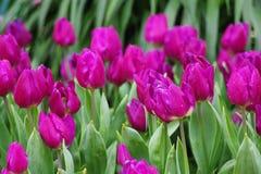 The tulip Royalty Free Stock Photos