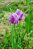 Tulip. Two purple tulip growing in dense greenery Stock Image