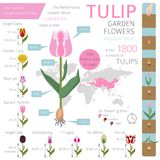 Tulip varieties flat icon set. Garden flower and house plants in. Fographic. Vector illustration Royalty Free Stock Photos