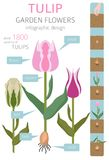 Tulip varieties flat icon set. Garden flower and house plants in. Fographic. Vector illustration Stock Image