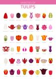 Tulip varieties flat icon set. Garden flower and house plants in. Fographic. Vector illustration Royalty Free Stock Photo