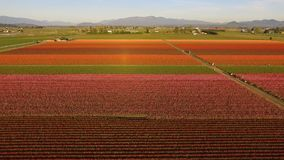 Tulip Varieties Shimmer in sunlight floral agriculture flowers. An aerial view of a mountain framed Skagit Valley known for growing large amounts of Tulip stock video