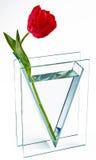 Tulip in vase. Red tulip in glass vase stock photography