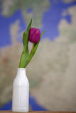 Tulip in a vase Stock Images