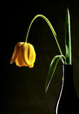 Tulip in vase. Yellow tulip in vase on black background royalty free stock photos