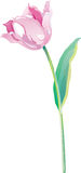 Tulip vector Stock Photo