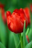 Tulip vermelho Fotografia de Stock Royalty Free