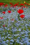 Tulip vermelho Fotografia de Stock
