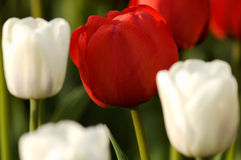 Tulip vermelho Fotos de Stock Royalty Free