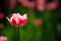 Tulip vermelho Fotos de Stock