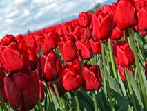 Tulip vermelho Imagens de Stock Royalty Free