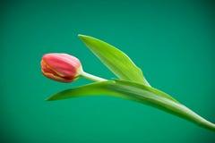 Tulip vermelho Imagem de Stock Royalty Free