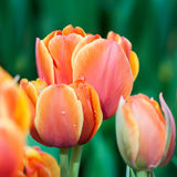 Tulip vermelho #01 Foto de Stock Royalty Free