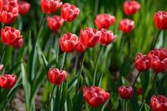 Tulip vermelho #01 Tulip Buds Campo de florescência da tulipa imagem de stock royalty free