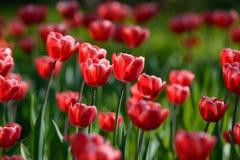 Tulip vermelho #01 Tulip Buds Campo de florescência da tulipa imagens de stock royalty free