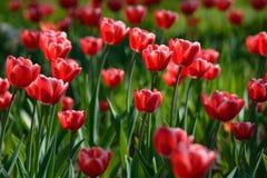 Tulip vermelho #01 Tulip Buds Campo de florescência da tulipa fotografia de stock royalty free