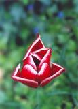 Tulip vermelho e branco   fotografia de stock royalty free