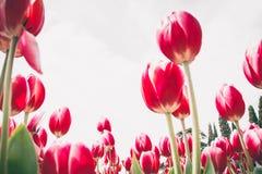 Tulip vermelho #01 imagens de stock
