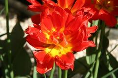 Tulip vermelho na mola Fotos de Stock Royalty Free