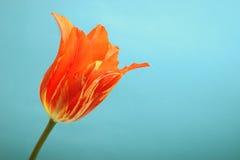 Tulip vermelho no fundo ciano fotografia de stock royalty free