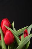 Tulip vermelho no fundo preto Fotos de Stock