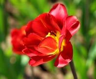 Tulip vermelho no jardim fotos de stock
