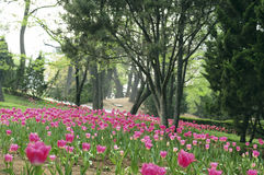 The tulip. The very beautiful pink tulips Royalty Free Stock Images