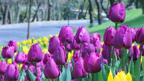 Tulip view stock footage