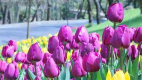 Tulip view stock footage